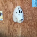 Mountain Goat Head Mount