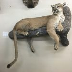 Cougar Mount