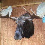 Moose Head Mount